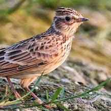 Manfaat Serangga Undur Undur Untuk Burung Branjangan
