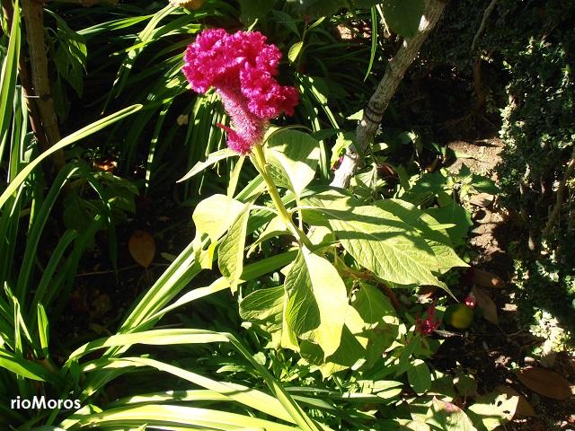 Planta de Cresta de gallo Celosia argentea var cristata