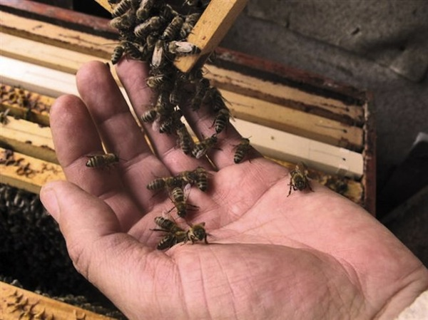 honey bees on beekeepers bare hand