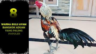 Ayam bangkok biasanya jadi ayam yang banyak dipilih sebagai ayam aduan Rahasia Cara Mengetahui Umur Ayam Bangkok Yang Bagus Dan Berkualitas