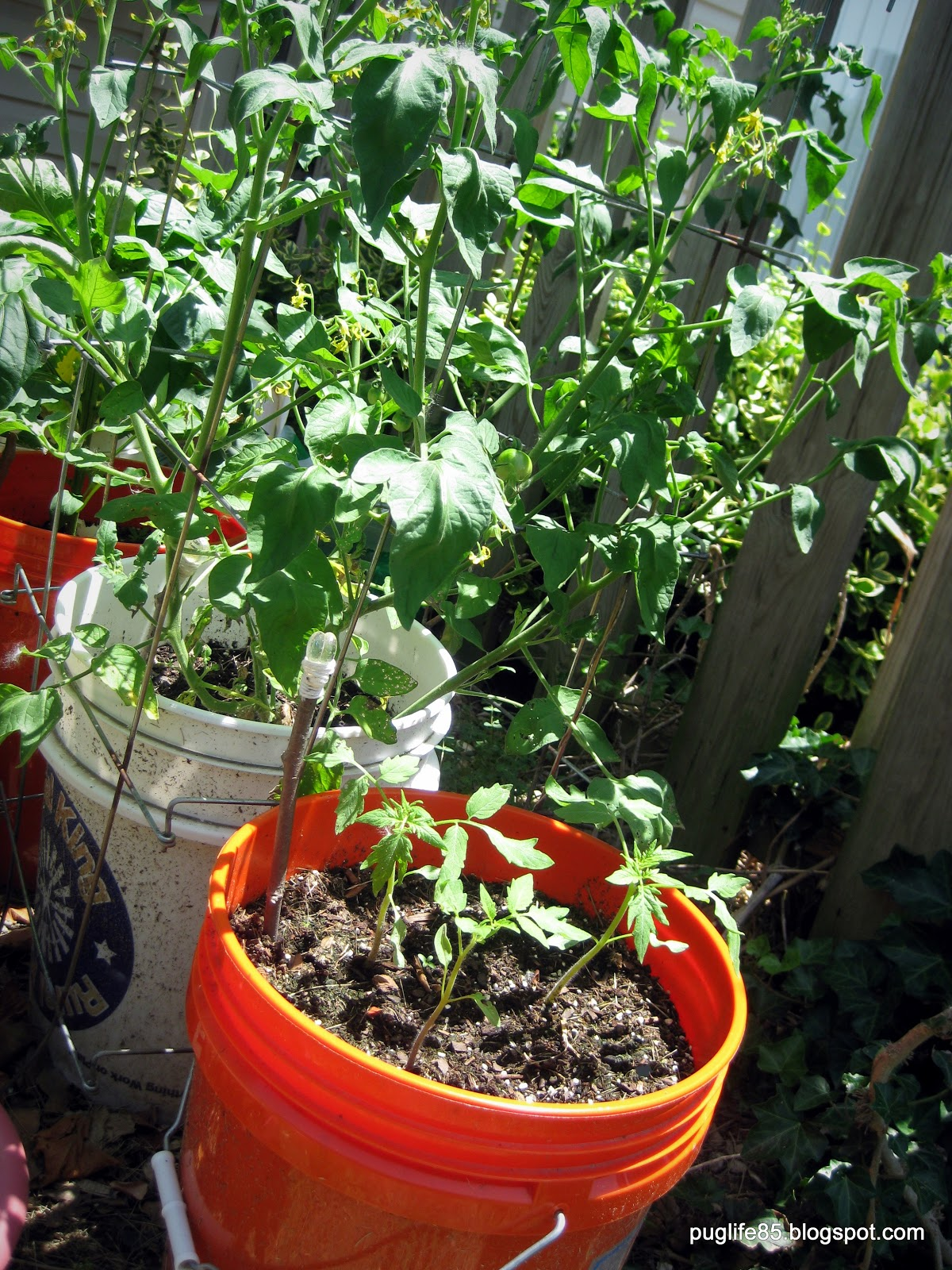 DIY: Container Vegetable Garden (Update) – This Pug Life