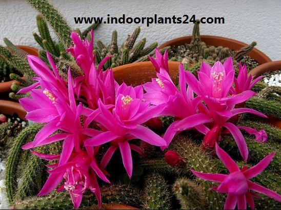 Aporocactus Flagelliformis Cactaceae indoor plant image