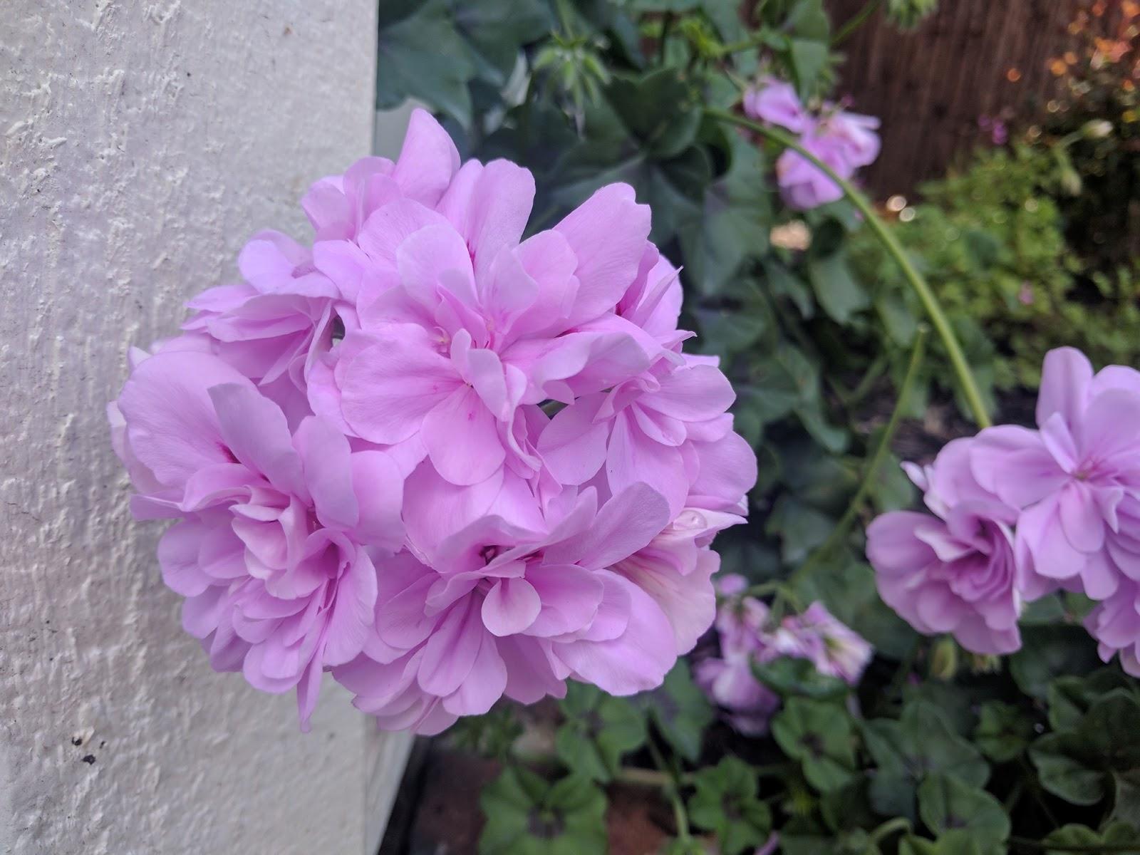 Royal Lavender