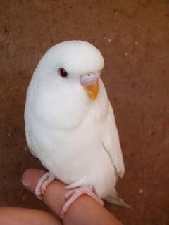 Budgie | A-Z List of 125 Rare Albino Animals [Pics]