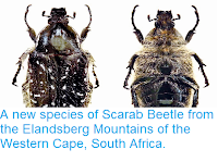 http://sciencythoughts.blogspot.co.uk/2014/08/a-new-species-of-scarab-beetle-from.html