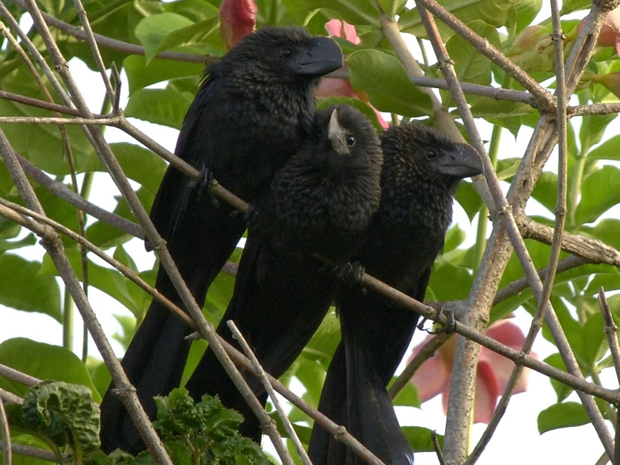 Smooth-billed Ani juvenile guarded by female adults