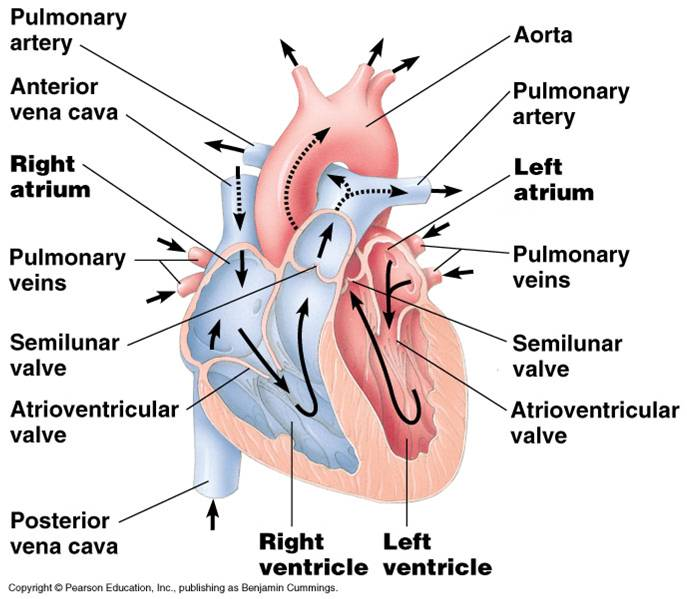 chamber heart diagram worksheet 24v wiring for trolling motors honors biology period 3 2010-2011: scribe 5/16/11