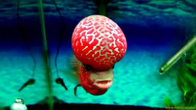 Gambar Ikan Luohan Juara Kontes Tahun 2013