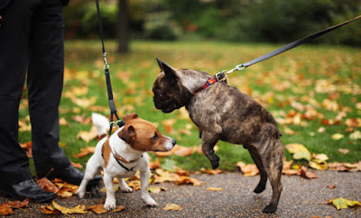 Pug is pulling hard on his lead whilst Jack Russell Terrier is cowering