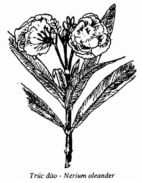 Hình vẽ Cây Trúc Đào - Nerium oleander - Nguyên liệu làm thuốc Chữa bệnh Tim