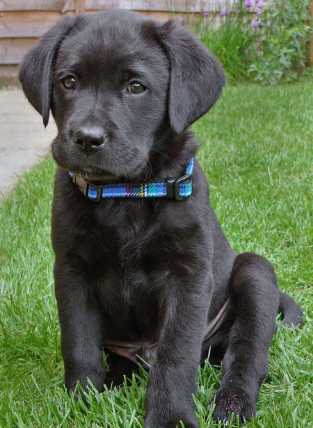 German Golden Shepherd Lab Yellow Retriever Mix