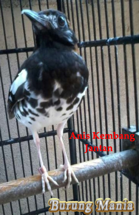 Cara Jitu Membedakan Anis Kembang Jantan Dan Betina Burung Mania