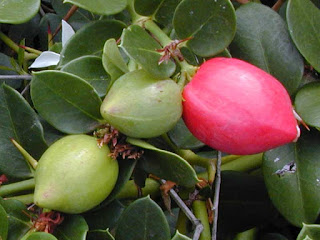 conkerberry fruit images