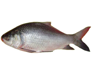 Full Information About Catla Fish | Modern Farming Methods