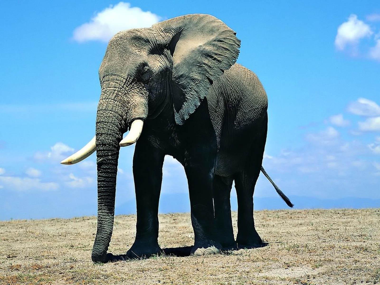 wallpaper: Elephant Wallpapers