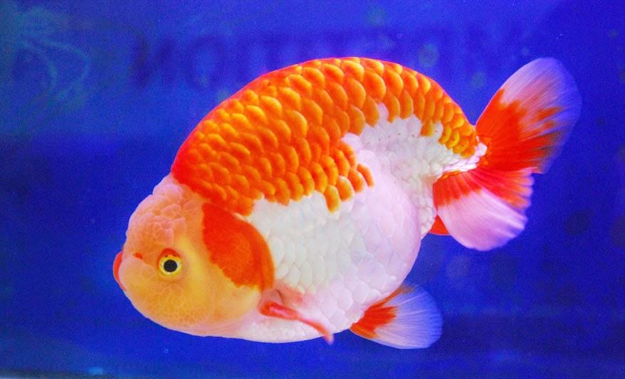 Cara Memelihara Ikan Mas Koki Info Pendidikan Dan Biologi