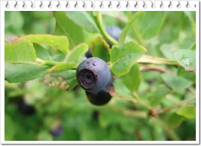 manfaat buah blueberry untuk mata