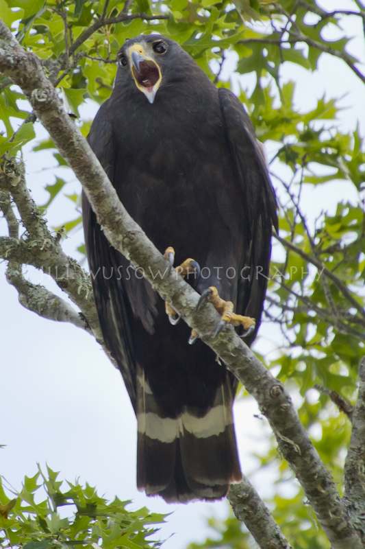Zone-tailed Hawks!