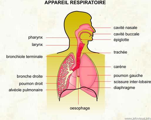l'appareil respiratoire : l'anatomie fonctionnelle et le système défensif (défenses immunitaires)