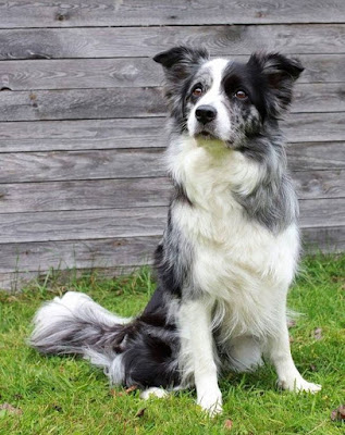 Border Collie Dog breed personality