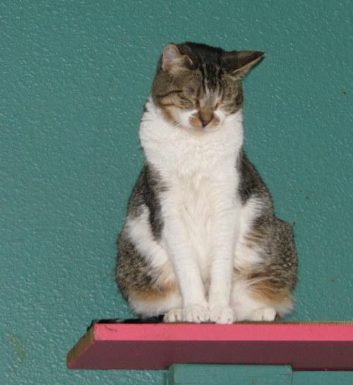 Albany Cat Adoption