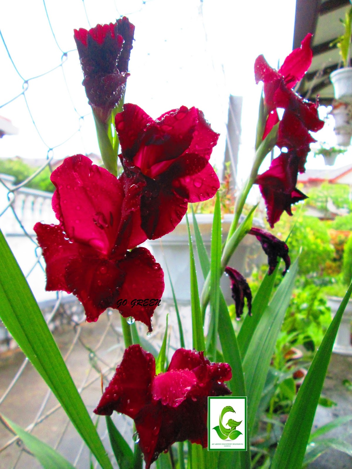 Seeds For Sale Online Gladiolus Bulbs For Sale