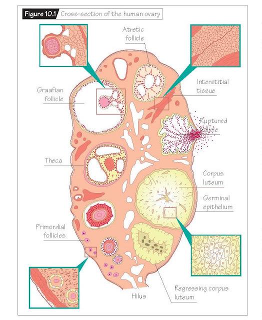 Microscopic Anatomy Of The Female Reproductive Tract, Ovary, Fallopian tube, Uterus, Cervix and vagina,