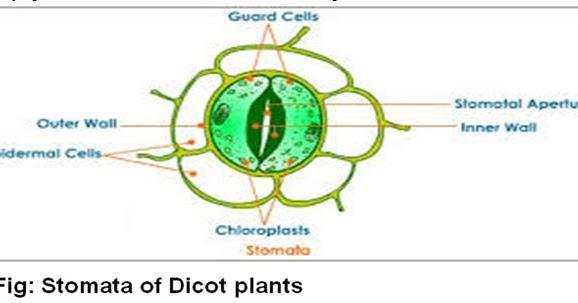 Stomatal Physiology Dhirajs Blog