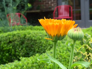 calendula bud and bloom in potager