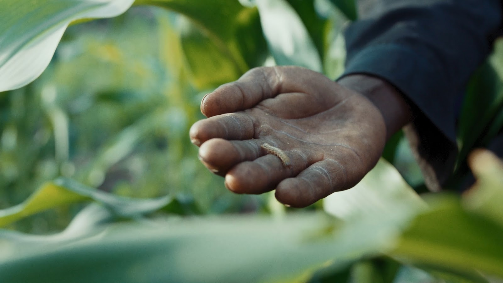 Fall Armyworm that threatens crops