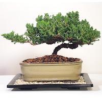 juniper bonsai for sale, juniper bonsai pruning, juniper bonsai care for beginners, juniper bonsai indoor care, types of juniper bonsai, juniper bonsai turning brown, can juniper bonsai be kept indoors, juniper bonsai styles