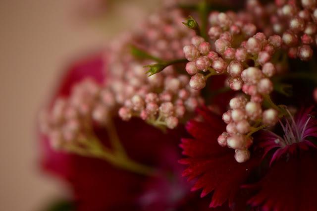 ozothamnus diosmifolius, monday vase, ranunculus, cutflower, ozothamnus, dianthus, small sunny garden, desert garden, amy myers