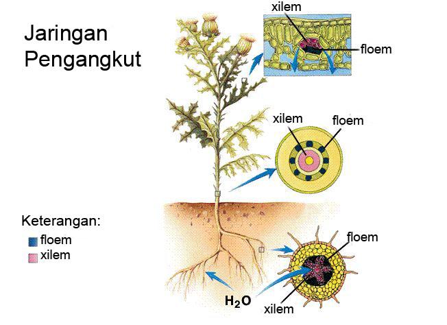 Jaringan Pada Tumbuhan: Jaringan Meristem & Jaringan Permanen - Dunia Biologi