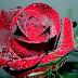 35 rozen achtergronden en foto's