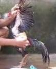 Latihan dan Rawatan Bagi Ayam Aduan