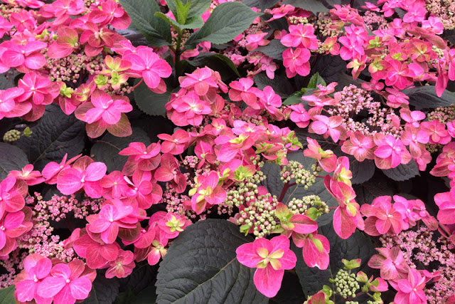 Tuff Stuff™ Red reblooming mountain hydrangea from Proven Winners ColorChoice