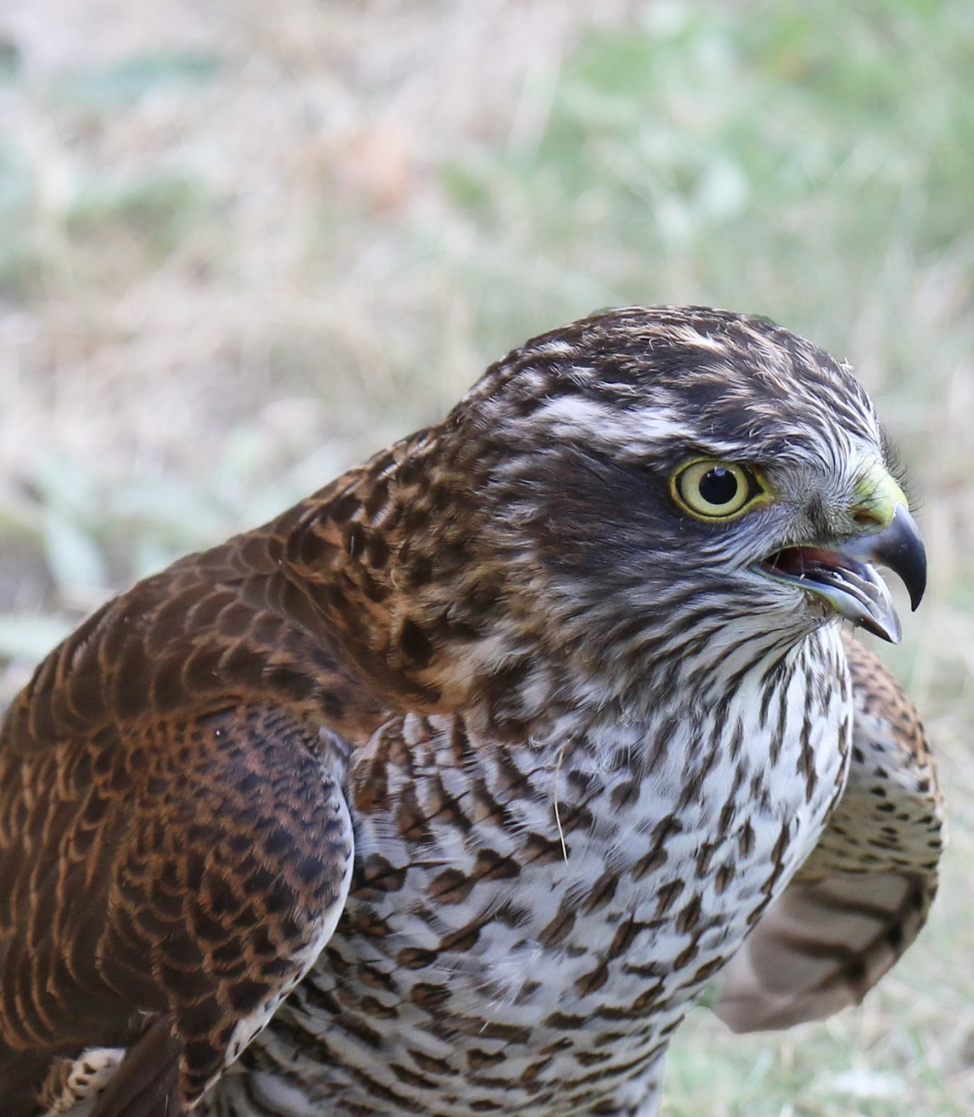 Picture of a sparrow hawk.