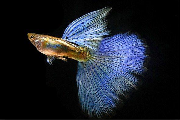 ikan guppy jantan dan betina