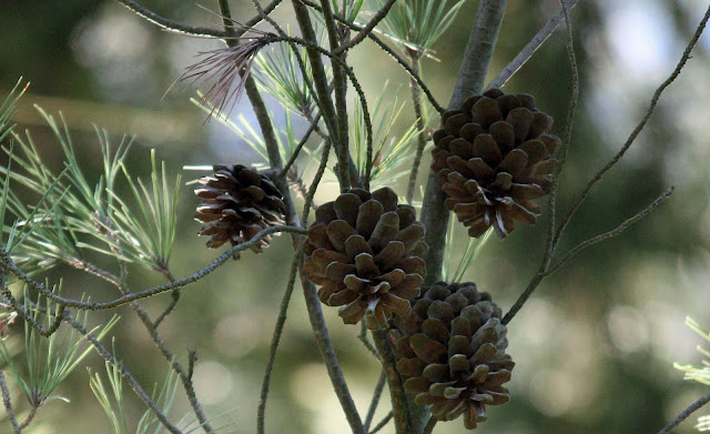 Pine Cone Quartet, image by LeAnn for linenandlavender.net - http://www.linenandlavender.net/2012/10/we-love-fushi_31.html