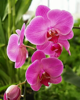 bunga-anggrek-mojokerto