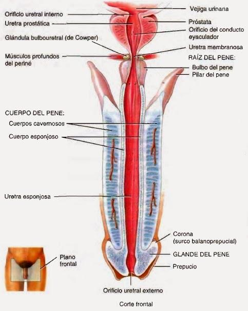 Resultado de imagen para uretra masculina anatomia