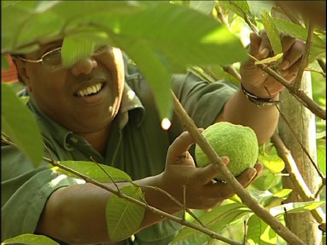 Guava orchards find success in Chapainawabganj || SHYKH SERAJ