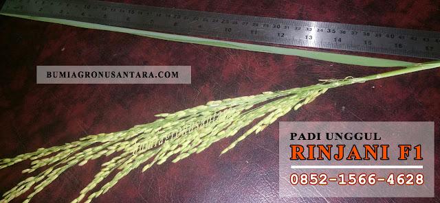 Rinjani F1, benih padi rinjani f1, padi unggul rinjani f1, varietas padi unggul produksi tinggi,  harga benih padi per kg,  jenis padi unggul umur pendek,  varietas padi batan,  benih unggul batan,  benih padi unggul 2018,  benih padi batan,  bibit padi unggul 2018,
