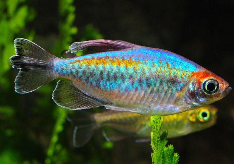 55. Jenis Ikan Hias Aquascape Congo Tetra
