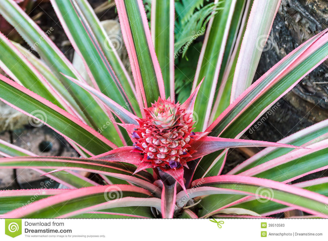 Living with nature school on blog by dr abercio v for Aechmea fasciata