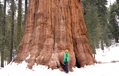 Co Horts Giant Sequoia