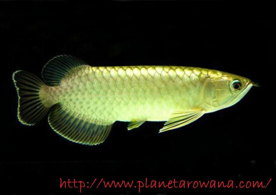 Gambar Ikan Arwana Pino atau Green Arwana Cocok Banget Untuk Pemula