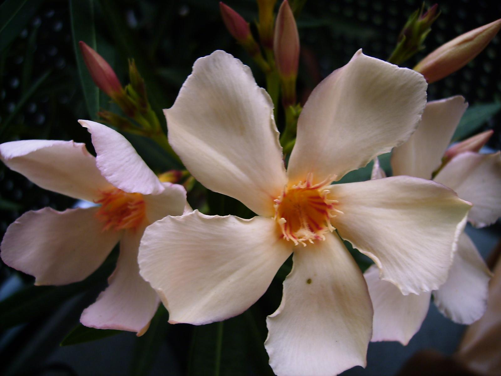 willkommen in renates eckchen mein wundersch ner oleander auf meinem balkon. Black Bedroom Furniture Sets. Home Design Ideas
