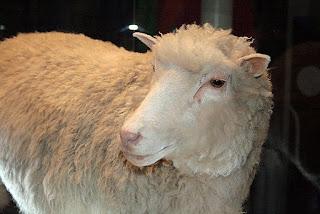 owca Dolly