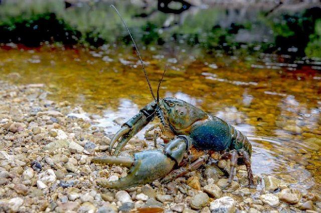 Kumpulan Gambar Lobster Air Tawar Terbesar Di Dunia Yang Pernah Ada
